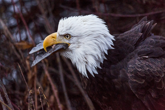 canstockphoto25765408_haines_baldeagle