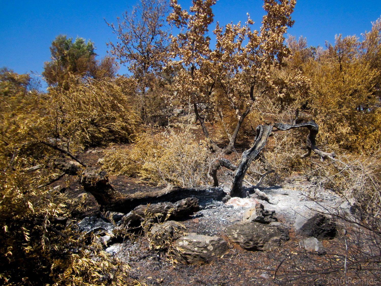 Verbrande olijfboom