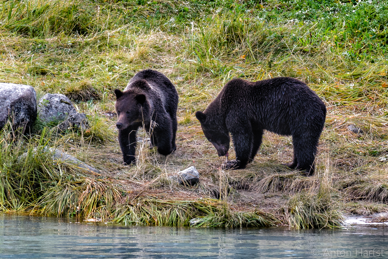 Canada grizzly bears